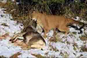 Video: THE TOP 10 || TOP 10 COUGAR VS || Cougar vs Deer, Wolf, Bear, Jaguar, Coyote, Dogs...